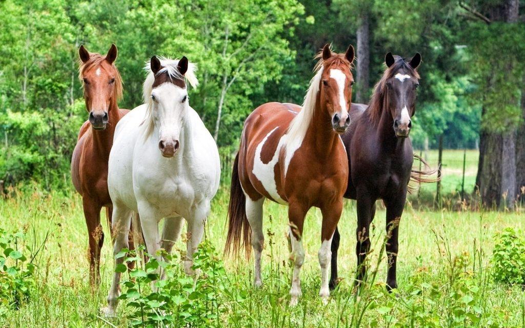 horse herd hd wallpapers