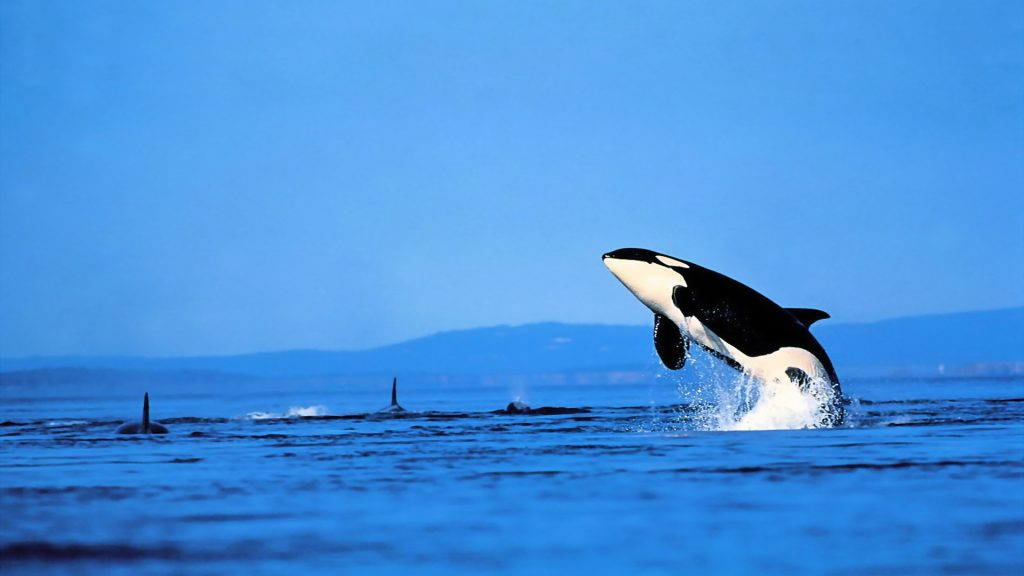 killer whales wallpapers
