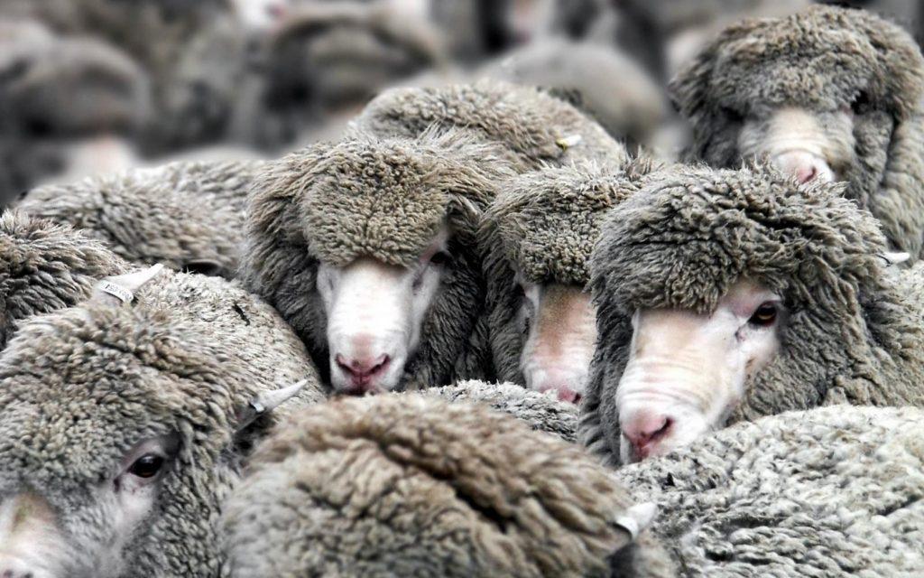 sheep herd computer wallpapers