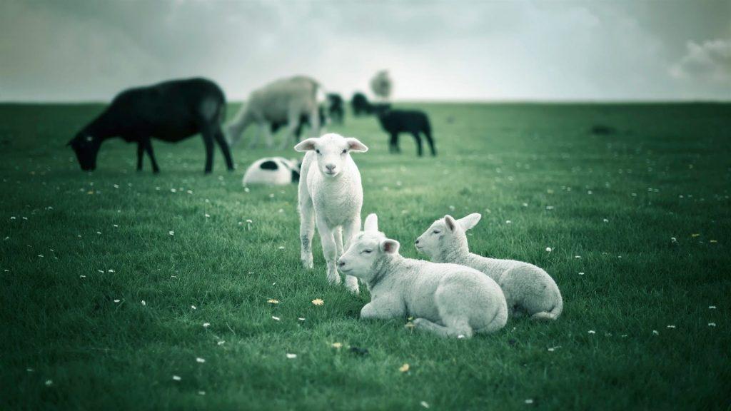 sheep herd desktop wallpapers