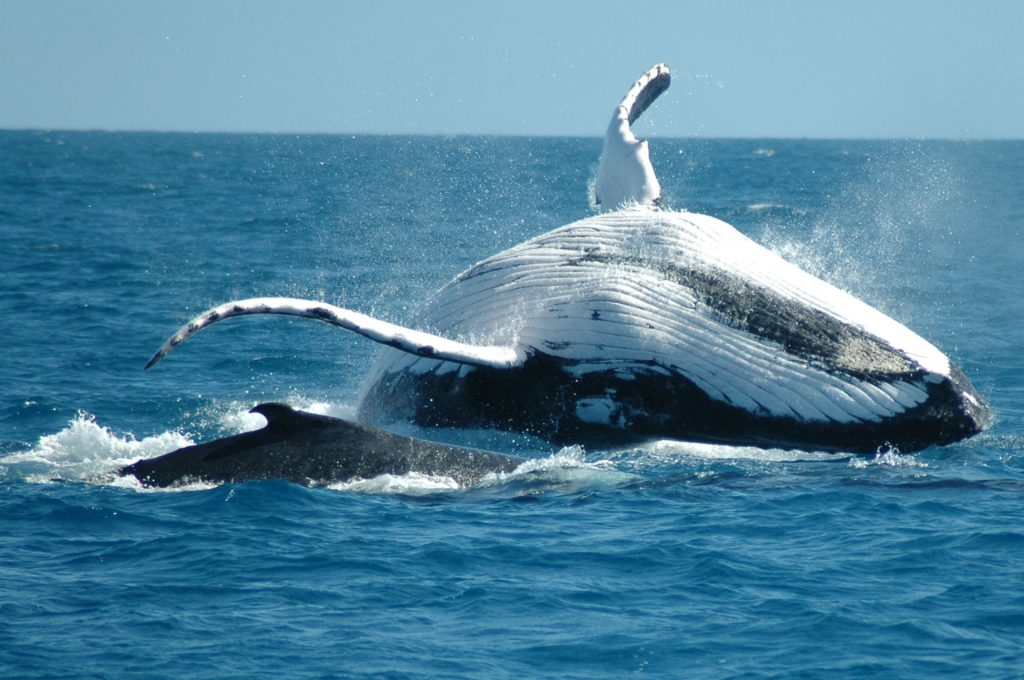 whale animal wallpapers
