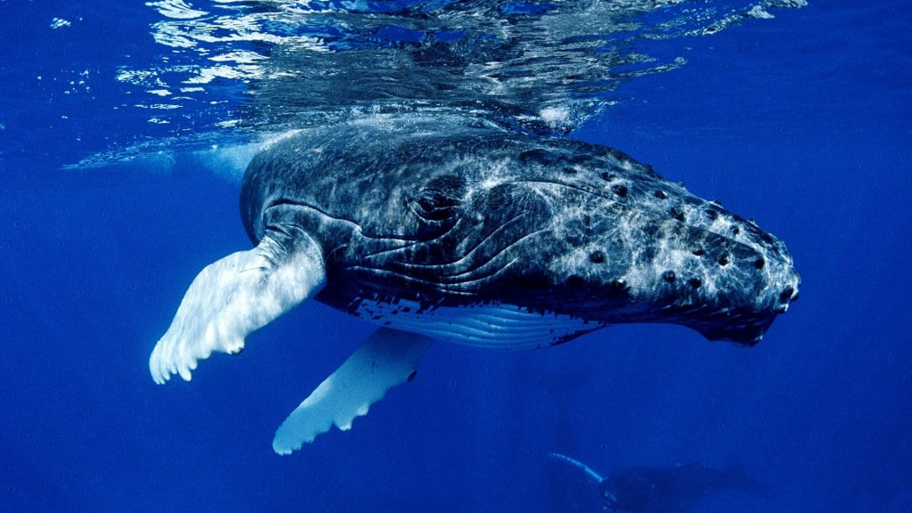 whale animal widescreen wallpapers