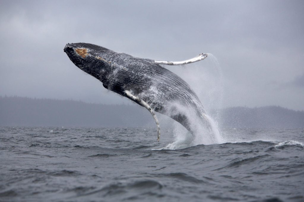 Whale Wallpapers