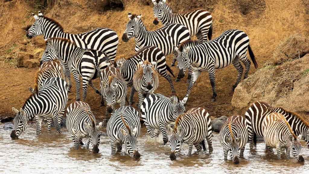 zebra herd wallpapers