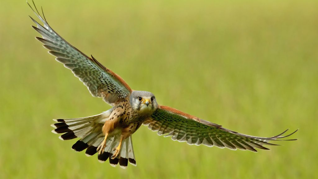kestrel bird wallpapers