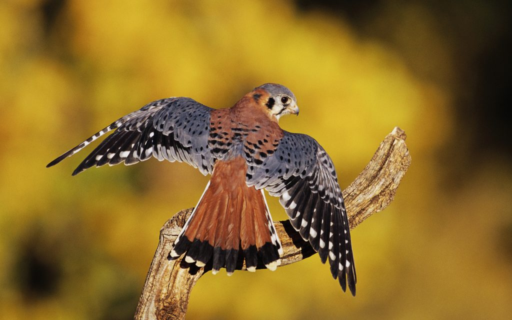 Kestrel Wallpapers