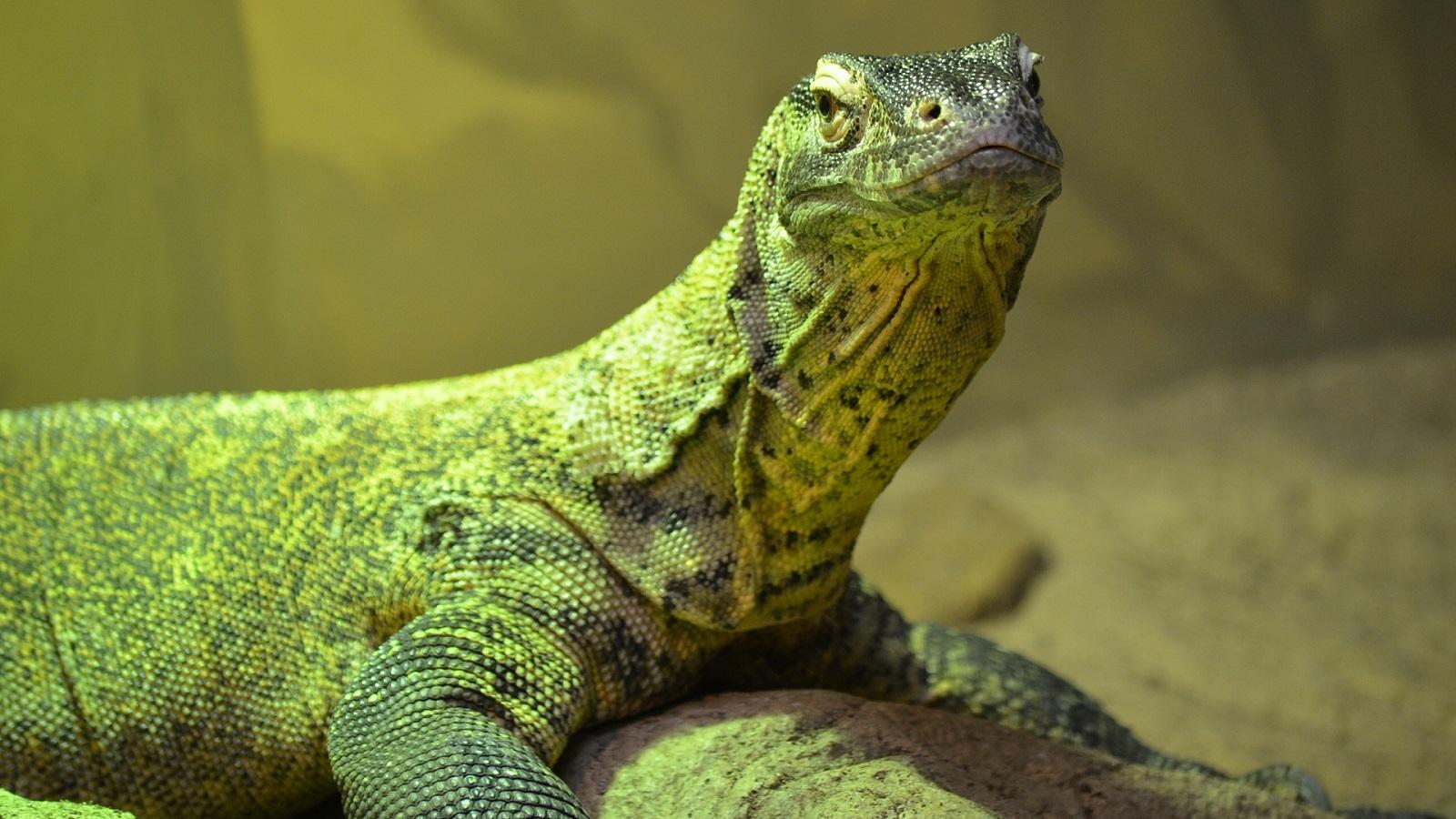 10 Fantastic Hd Komodo Dragon Wallpapers