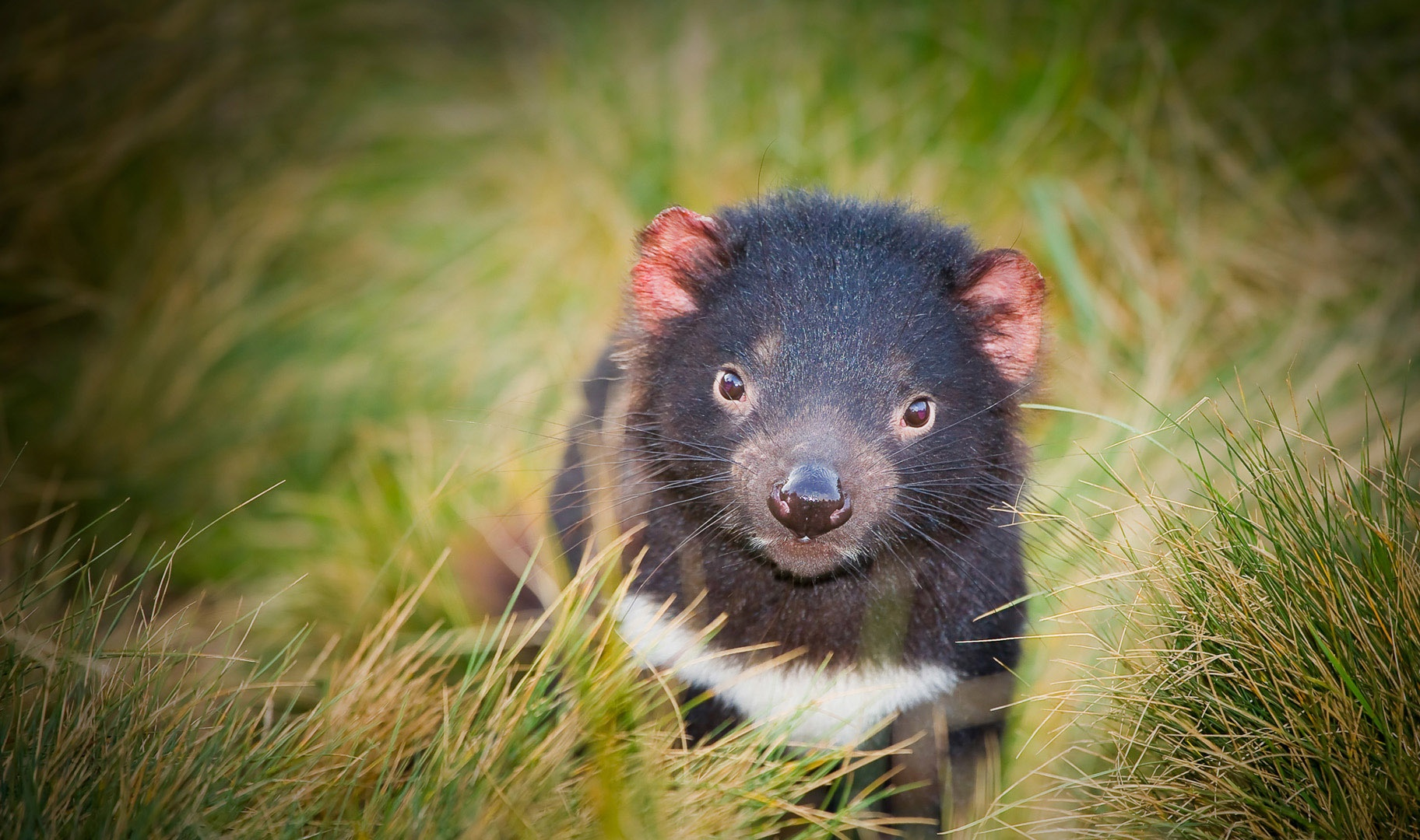 Tasmanian Devil Wallpapers Archives - HDWallSource.com