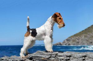 Fox Terrier Dog Wallpapers