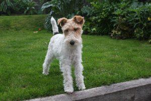 Terrier Dog Wallpapers